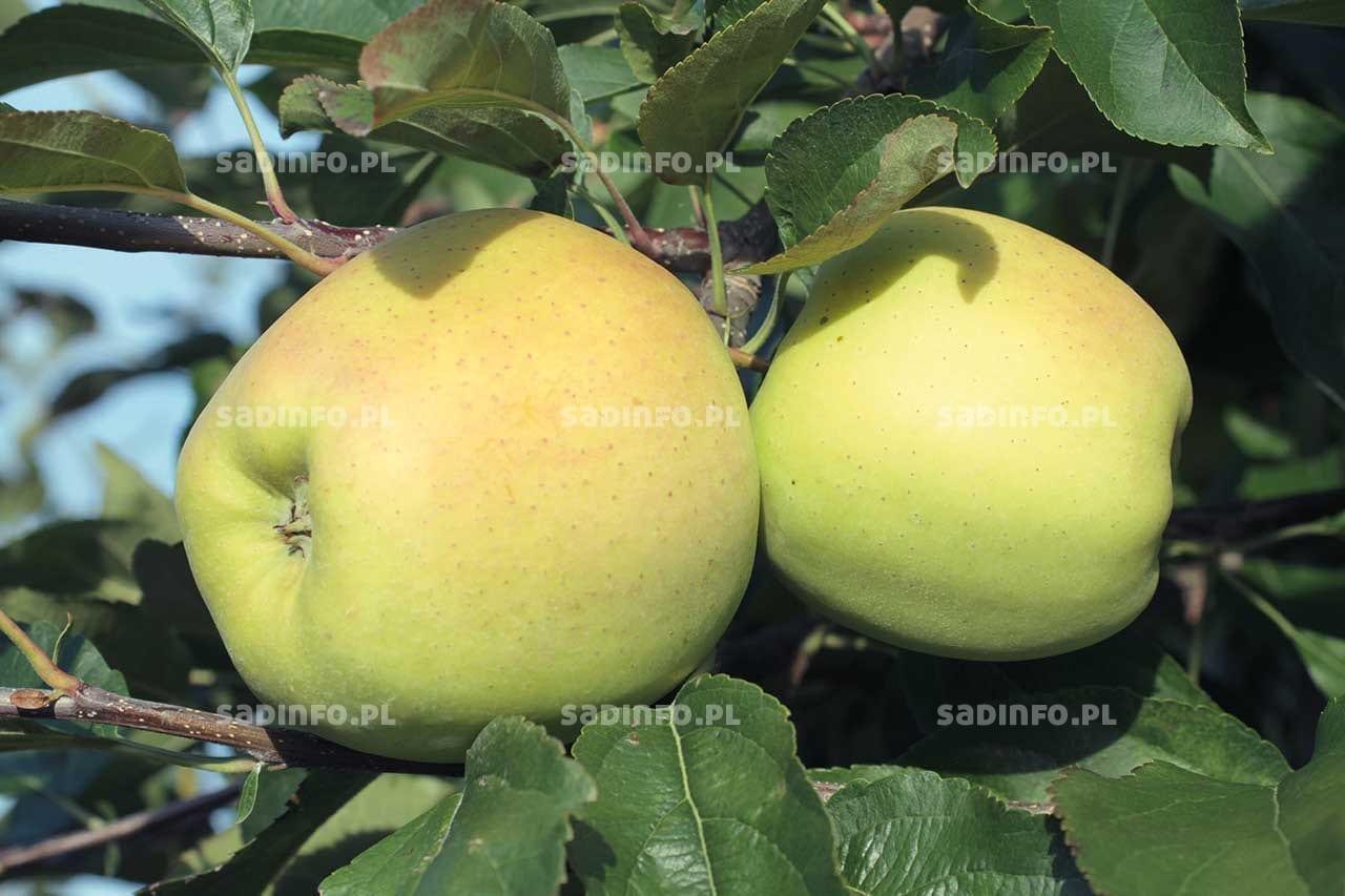 FOT. 3. Żółte zabarwienie skórki jabłek może świadczyć ozbyt wysokim nawożeniu potasem przed zbiorem
