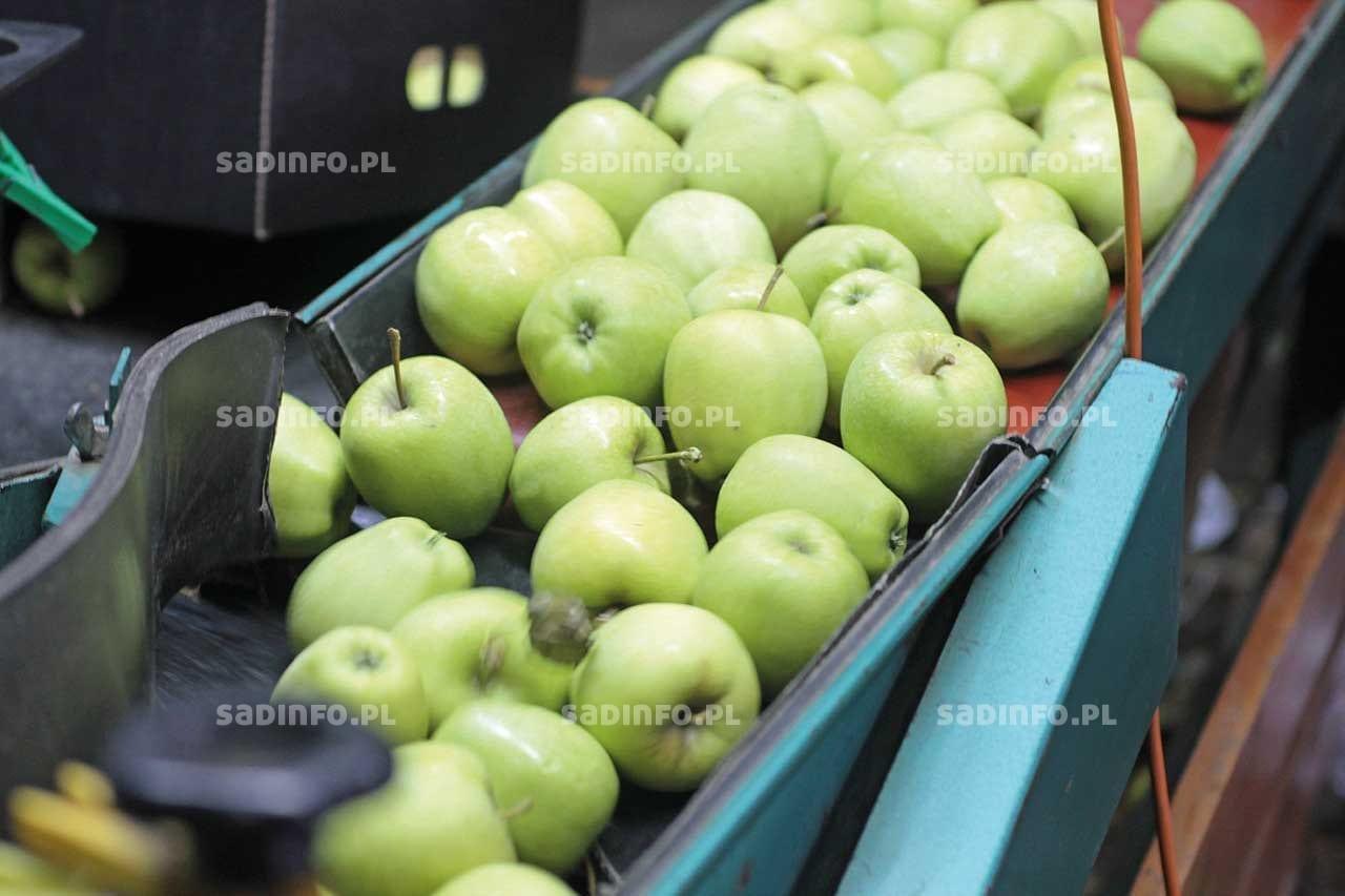 FOT. 4. Ujabłek odmiany 'Golden Delicious' zielona skórka bardziej zachęca do zakupu niż żółta