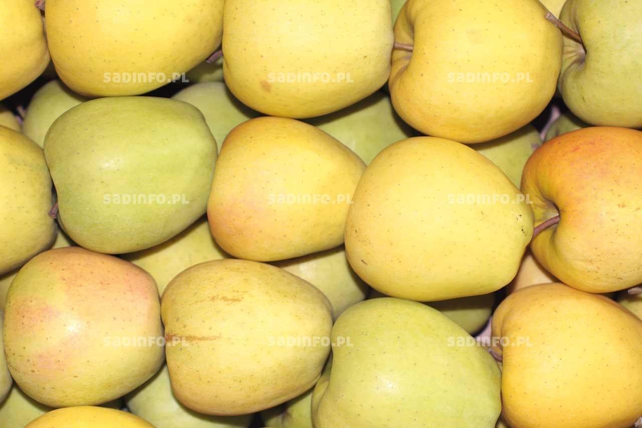 FOT. 5. Zażółcenie skórki jabłek świadczy oich zbytniej dojrzałości