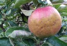 Są pierwsze oferty skupu drugiej klasy jabłek