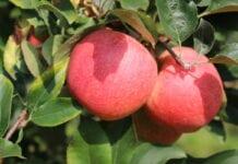 Opóźnienie dojrzewania jabłek: Harvista™ 1.3 SC już dostępna
