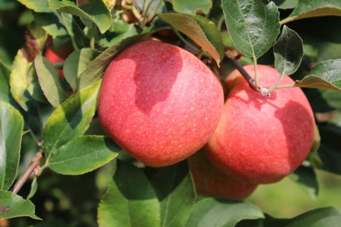opóźnienie dojrzewania jabłek