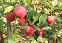 Sad jabłoniowy - technologia Harvista Agrofresh