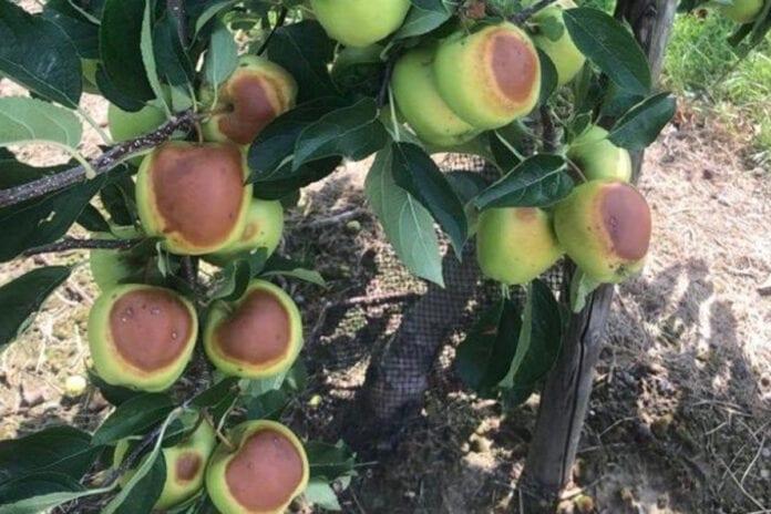 jabłka oparzenia słoneczne