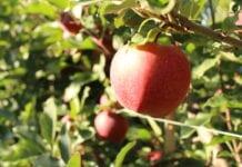 zbiory jabłek na węgrzech