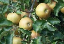 Red Joanprince odmiana jabłoni