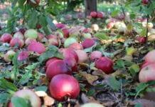Ceny jabłek przemysłowych spadły dziś o kilka groszy
