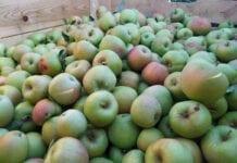 Jabłka na soki wyraźnie droższe