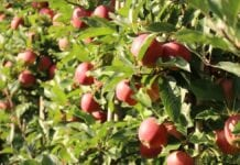 Ochrona przedzbiorcza jabłek w 2020. Jak ograniczyć straty i zwiększyć zysk? Poznaj sposób na długie przechowywanie owoców.