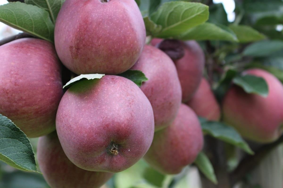 Jabłka 2020 - ochrona pod długie przechowywanie