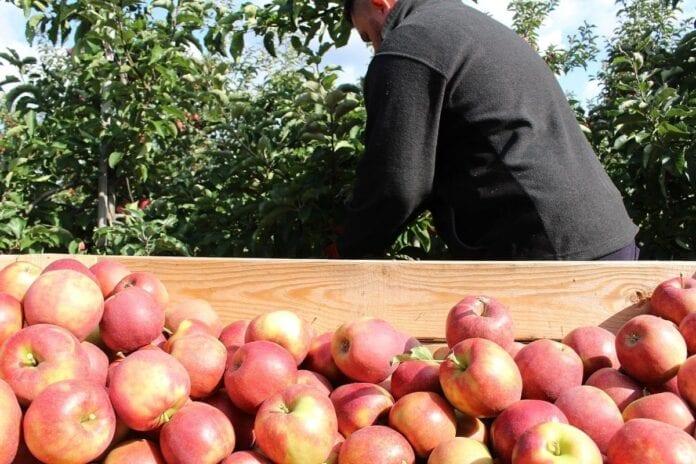 zbiory jabłek