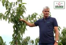 Zabiegi pozbiorcze i cięcie sadów czereśniowych – komunikat sadowniczy Agrosimex, 07.08.2020