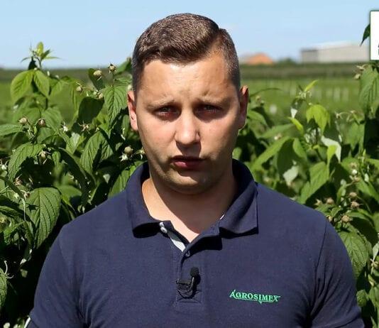 Zabiegi ochrony i nawożenia w uprawach maliny – komunikat jagodowy Agrosimex, 07.08.2020