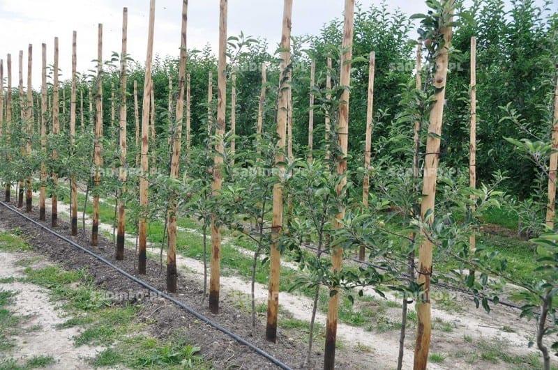 FOT. 1. Stabilizację drzew zapewniają podpory indywidualne