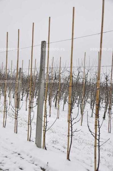 FOT. 14a. Do stabilizowania drzewek w rzędach mogą być wykorzystane bambusowe kołki