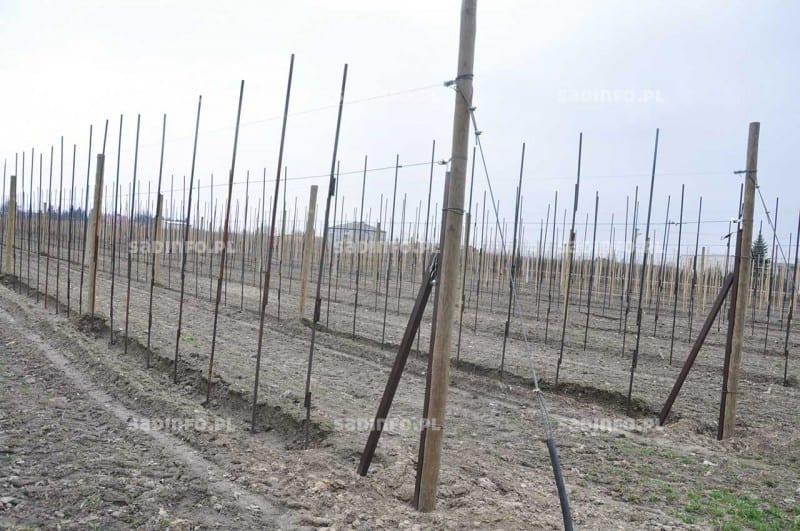 FOT. 14c. Do stabilizowania drzewek w rzędach mogą być wykorzystane rurki metalowe
