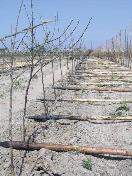 FOT. 3. Drewniane pale impregnowane tylko w części zagłębionej w glebie