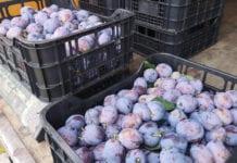 Rozpoczęcie zbiorów Lepoticy – owoce dojrzewają powoli