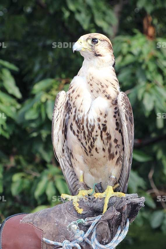 FOT. 8. Sokół wykorzystywany do odstraszania ptaków