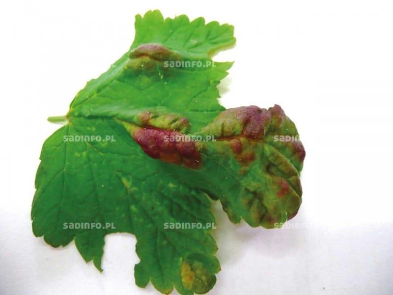 FOT. 2a. Efekt żerowania mszycy porzeczkowo-czyściecowej na wierzchniej stronie liścia porzeczki
