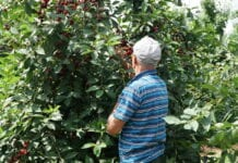 Ukraińcy pracowali nielegalnie przy zbiorze wiśni