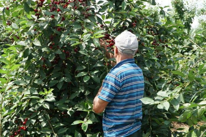 nielegalna praca przy zbiorze wiśni