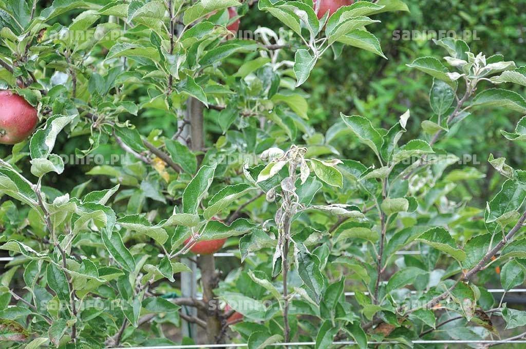 Fot. 4. Nasilenie występowanie objawów mączniaka jabłoni w tym roku m.in. na odmianie 'Idared' (drzewa kontrolne, niechronione)