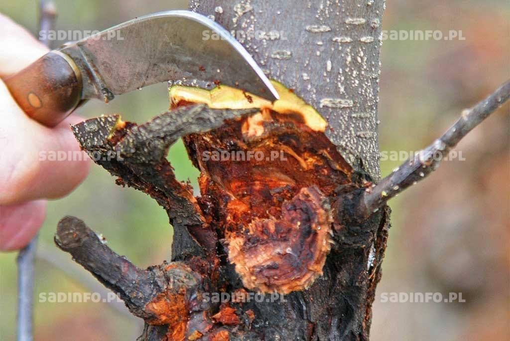 FOT. 4. Wefekcie wystąpienia sprawcy raka drzew owocowych destrukcji ulegają także wewnętrzne warstwy drewna