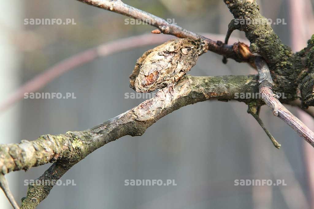 FOT. 7. Wmiejscu przylegania mumii do pędu powstają nekrozy kory (sprawca Monilinia laxa)