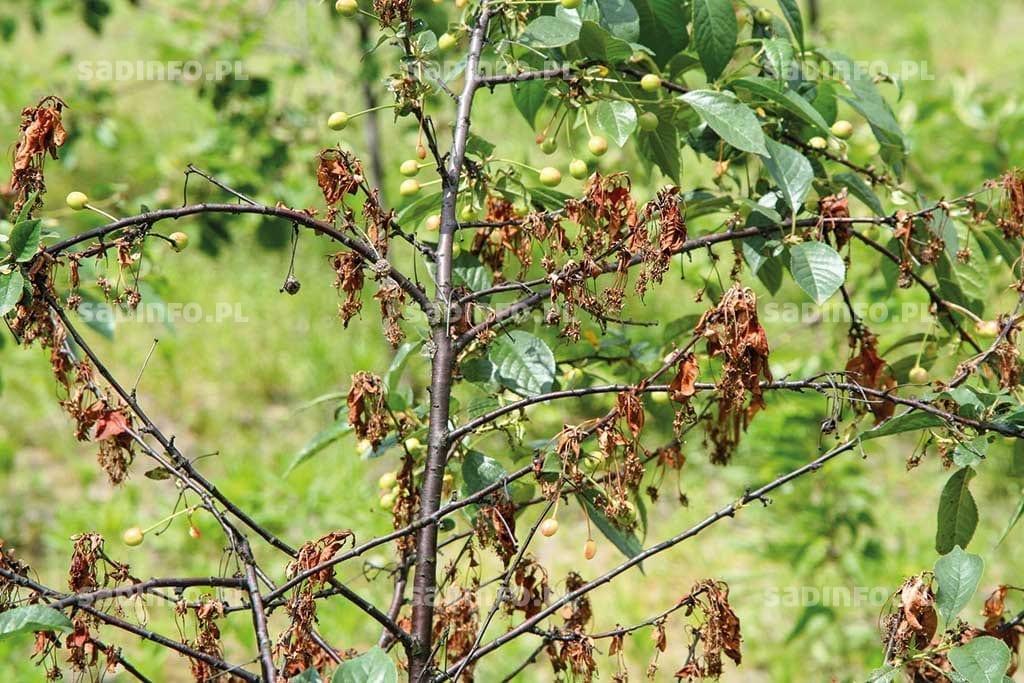 FOT. 8. Brunatna zgnilizna na wiśni – zamieranie zainfekowanych kwiatów iliści