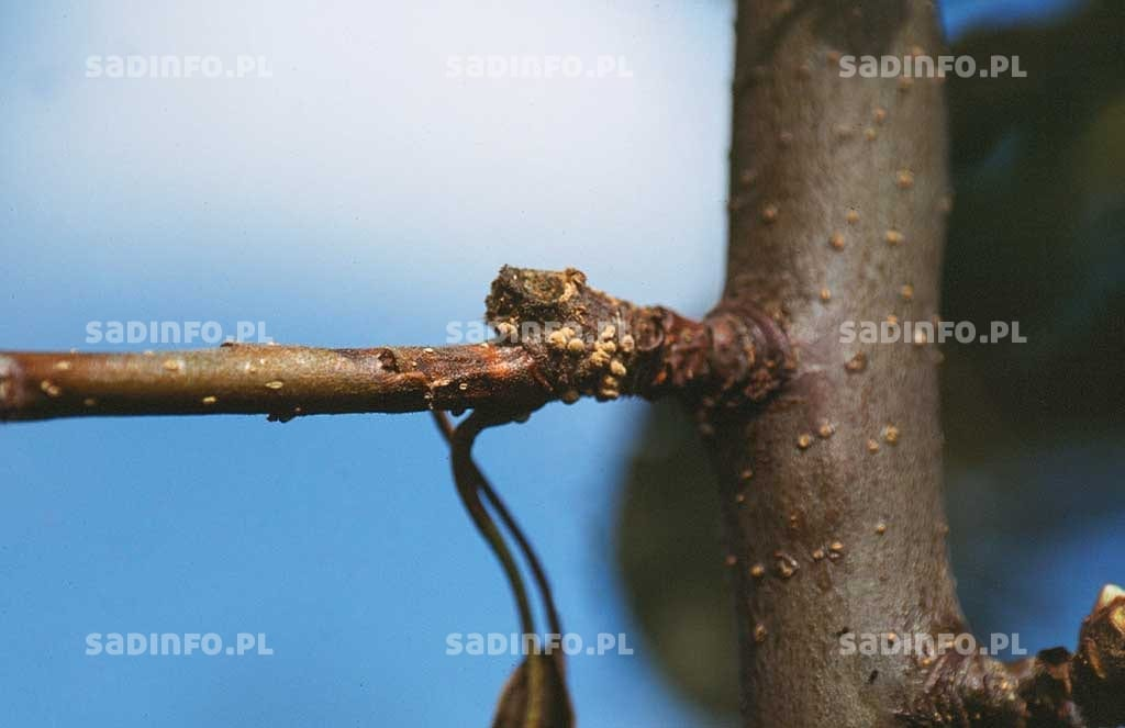 FOT. 9. Brunatna zgnilizna drzew ziarnkowych – porażony krótkopęd ze skupieniami zarodników