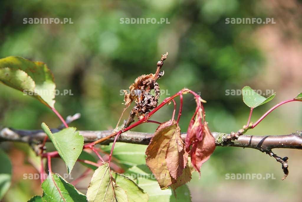 FOT. 10. Rak bakteryjny – zamieranie zakażonych kwiatów ipędów