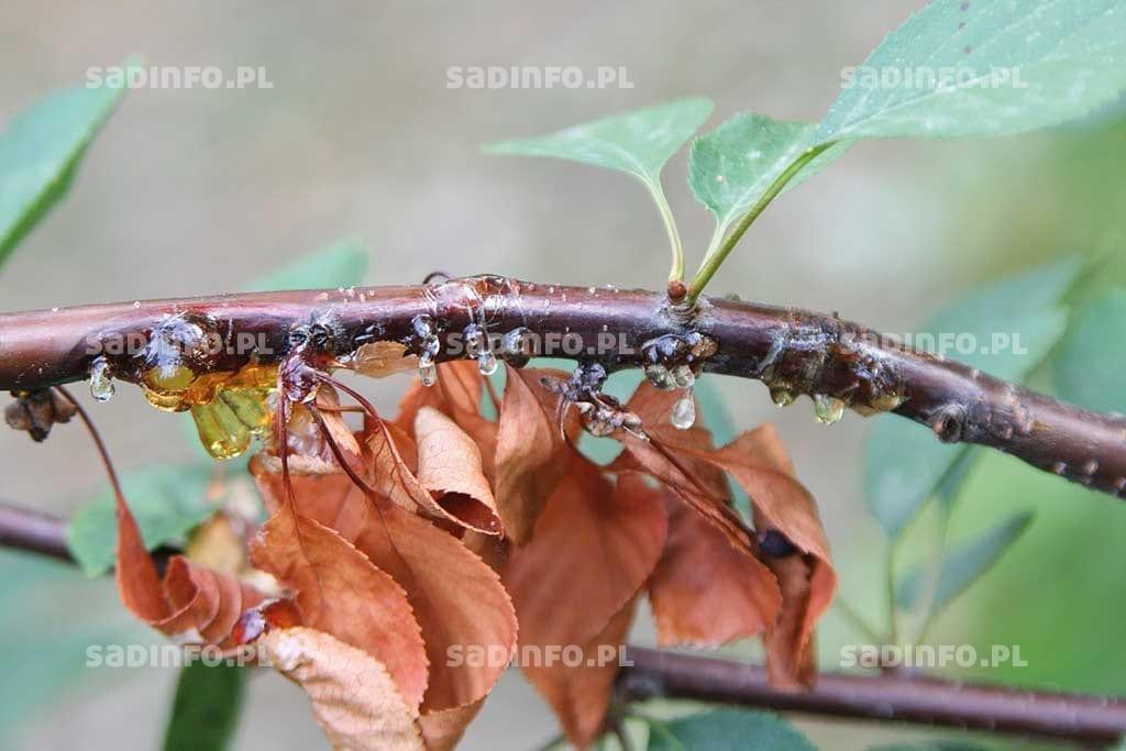FOT. 11. Rak bakteryjny – wycieki gumy na pędach wiśni