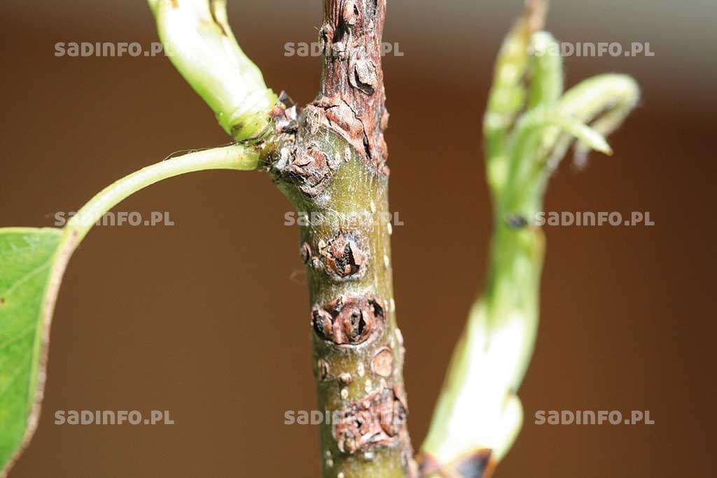FOT. 12. Rak bakteryjny  – obumarłe warstwy kory pękają, odsłaniając drewno gruszy