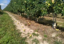 osypywanie sie jabłek