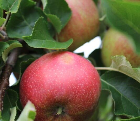Oparzenia słoneczne na jabłkach – jak im przeciwdziałać?