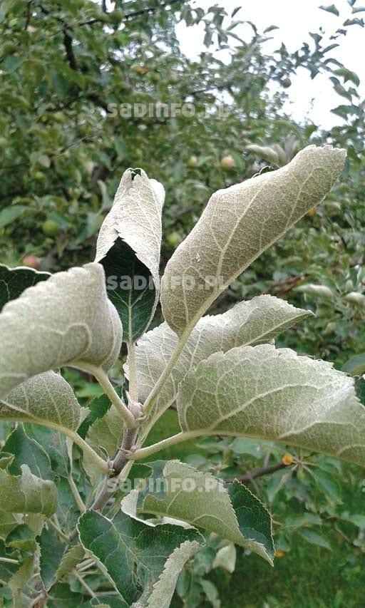FOT. 2. Objawy żerowania pordzewiacza jabłoniowego