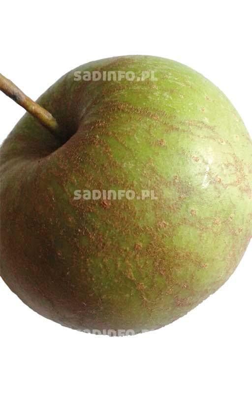 FOT. 3. Ordzawienie owocu – wynik żerowania pordzewiacza jabłoniowego