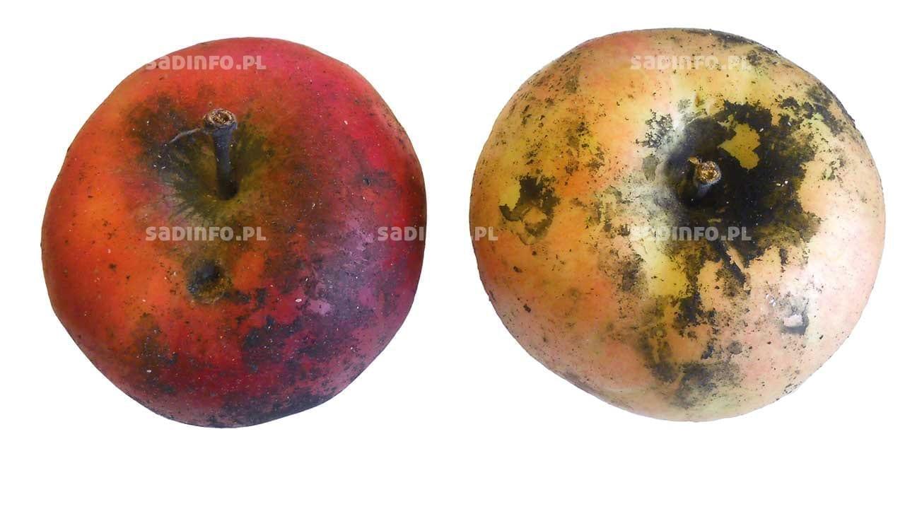 """FOT. 4. """"Brudne"""" owoce wwyniku żerowania bielika klonowca…"""
