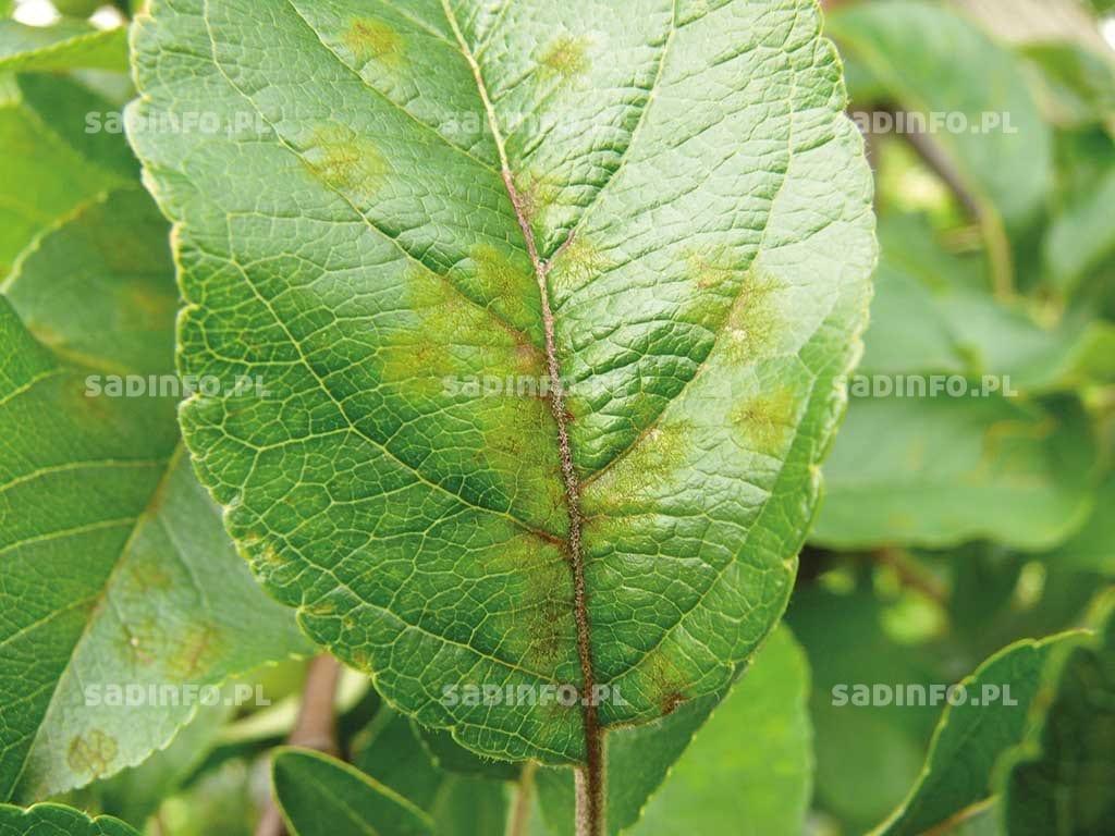 Fot. 1. Objawy parcha jabłoni na: liściu i ogonku liściowym,…