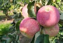 Jabłoń Piros coraz częściej wybierana przez polskich sadowników