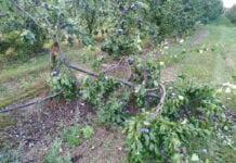 połamane gałezie w sadzie