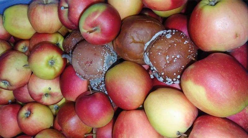 Fot. 5. Objawy szarej pleśni na jabłkach