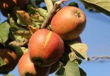 jabłka odmiana Red Jonaprince