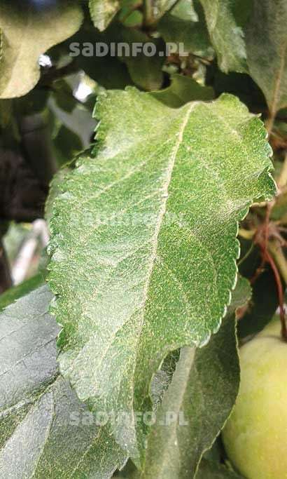 FOT. 1. Liść jabłoni uszkodzony przez przędziorki