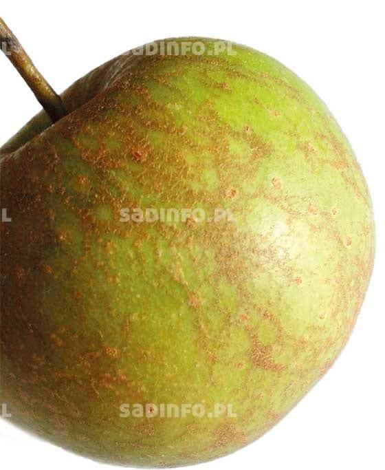 FOT. 2b. Pordzewiacz jabłoniowy: uszkodzenia na owocu