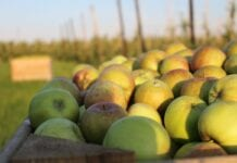 ceny jabłek w przerwyki