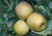 zbiory jabłek w Chinach