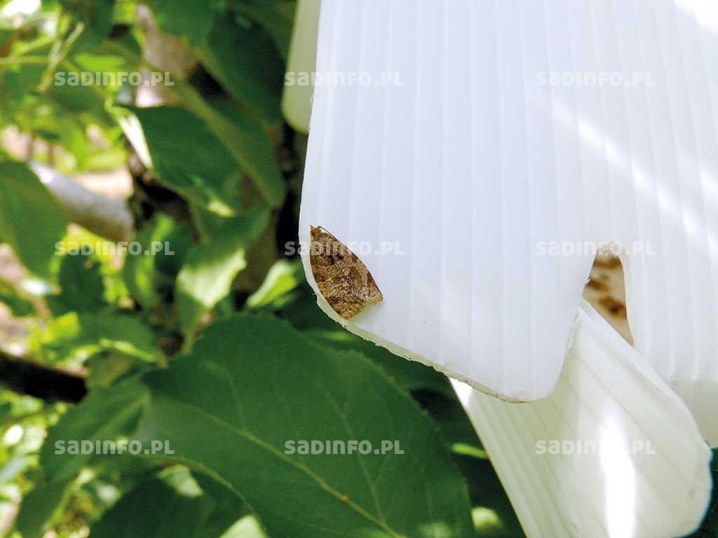 Fot. 4a. Motyl zwójki siatkóweczki