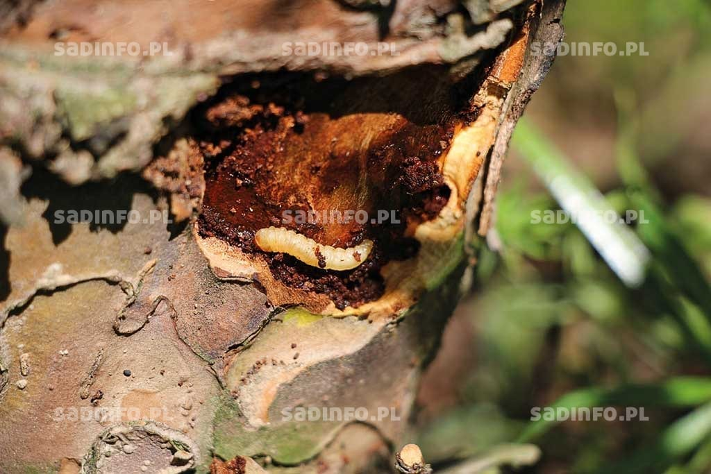 Fot. 5. Gąsienica zwójka koróweczki